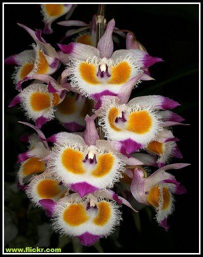 La Dendrobium devonianum proviene dall'Himalaya cinese, dal Bhutan, Birmania, Tailandia, Laos, Vietnam e lo stato indiano di Assam. È una specie montana: si trova sugli alberi ad un'altitudine di 5…