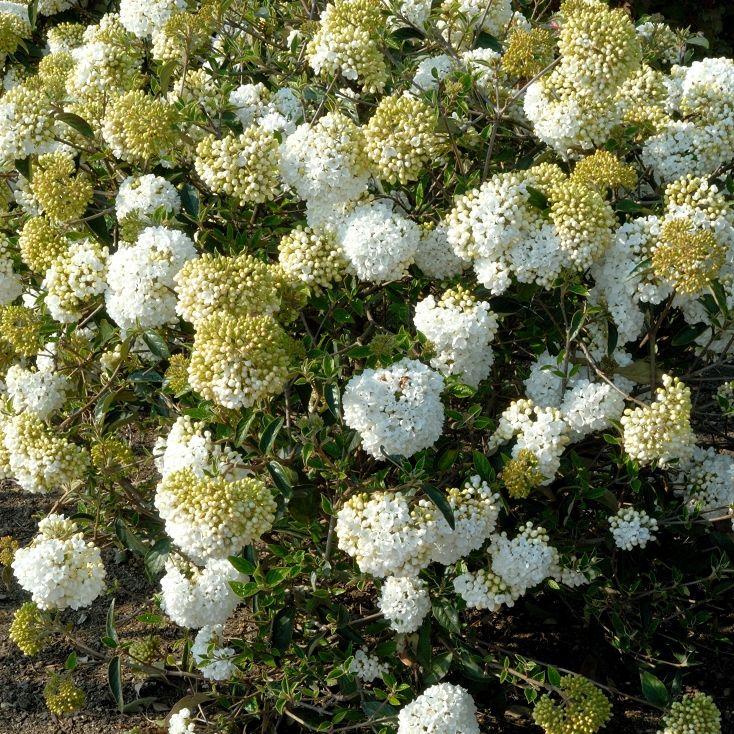 Viorne obier (Viburnum opulus) 'Eskimo'