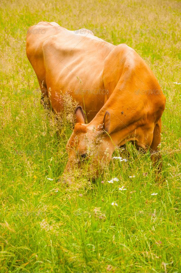 Cow on Pasture - Stock Photo - Images