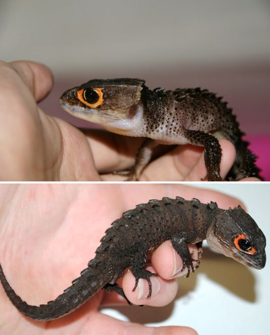 And this gorgeous crocodile skink who fits in the palm of your hand. | 23 Pictures That Prove Lizards Are Very Good Boys