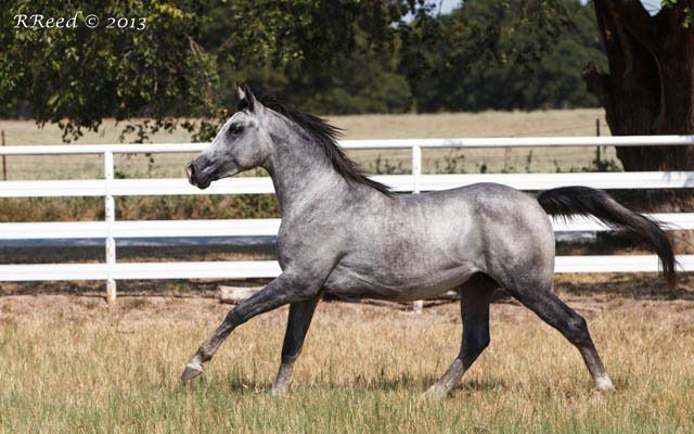 Ta Timeline Line Dancer X Timeless Song 2011 Grey Stallion Bred By Toskhara Arabians Texas Horses Auction Animals