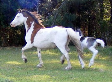 The Promise Welsh Ponies - Pony Mares Page