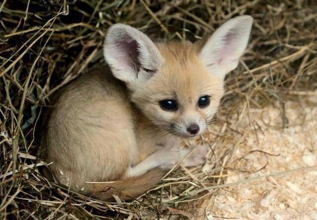 This, this... omgosh, this just, D'AWWWWW!!!!! Fennec Fox baby.