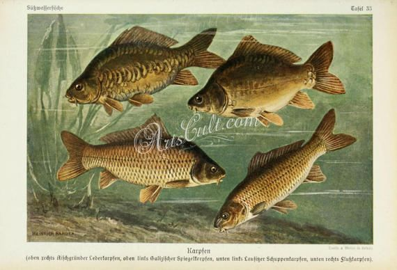 fishes-01161 - Common Carp, European carp, Cyprinus carpio vintage printable image picture graphics illustration book page paper artwork jpg           data-share-from=listing        >           <span class=etsy-icon