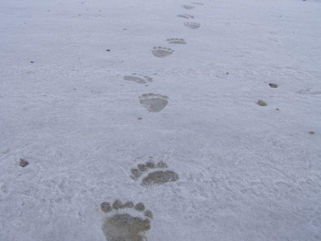 Pista di orso bruno (foto di M.Zorzi) rinvenuta nel settore meridionale del Parco (www.uomoeterritoriopronatura.it).