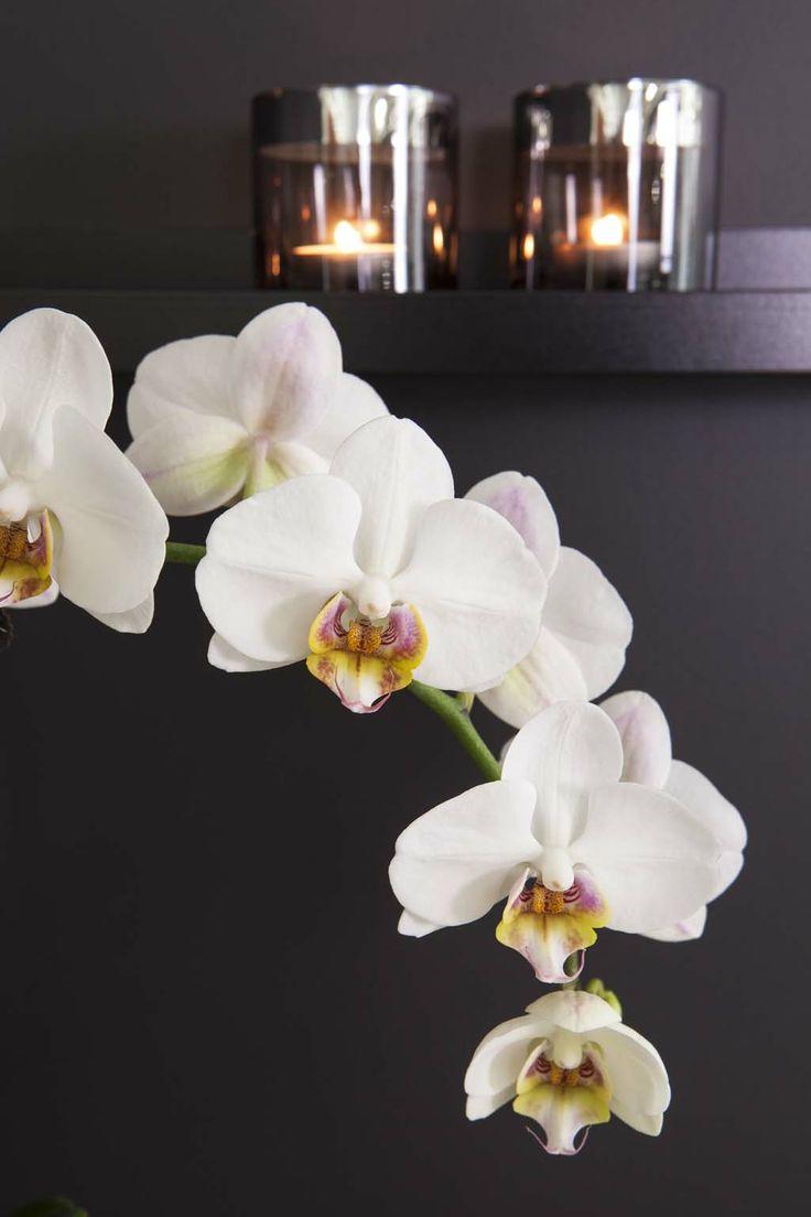 Hvit Phalaenopsis orkidé