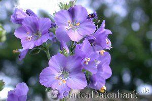 #Jakobsleitern / #Himmelsleitern sind häufig nicht sehr langlebig, säen sich aber stark selbst aus. Sie wachsen in voller Sonne, aber auch im hellen Halbschatten, und benötigen einen feuchten Boden.  #Polemonium caeruleum  Bienenmagnet!  #Blaue Jakobsleiter: #Himmelsleiter / #Blaues Sperrkraut mittelhoch, ist die einzige der bei uns einheimischen Arten. Natürlich kommt sie vor allem in den Bergen/Alpen vor, ist sehr selten und geschützt. In Gärten ist sie mit einigen Zuchtsorten anzutreffen.