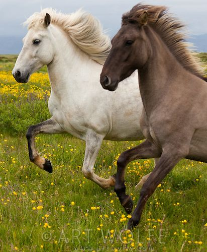 Icelandic Ponies, Iceland  by Art Wolfe
