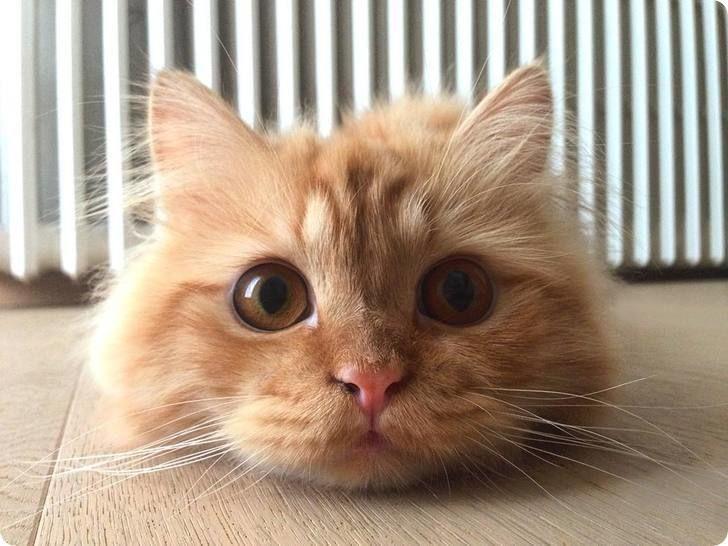 chat roux mignon
