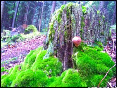 podgrzybek #grzyby #grzybobranie #borowik #szlachetny #boletus #borowiki #prawdziwki #na-grzyby #kosz-grzybów #las #dary-lasu #forest #natura #przyroda #Polska #Poland #grzyby-jadalne #polskie-grzyby #grzybiarz #Adam #Matuszyk #małopolska #Beskidy #mushrooms #podgrzybek #podgrzybki #runo-leśne