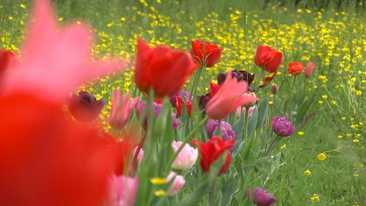 I Bulbi di Evelina Pisani: 60mila tulipani a Villa Pisani Bolognesi Scalabrin a Vescovana (Padova)