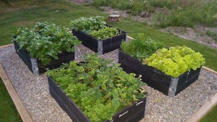 Kommer ni ihåg att jag skrev om att Förplantera grönsaker till trädgårdenför Stunder av lycka. Planen var ju att plantera alla försådda plantor i pallkragar ute på tomten. Här får ni se hur det blev när plantorna faktisk fick komma i odlingskragarna. Vi började med att bestämma vart vi ville ha våra pallkragar, sen kom ... Read more
