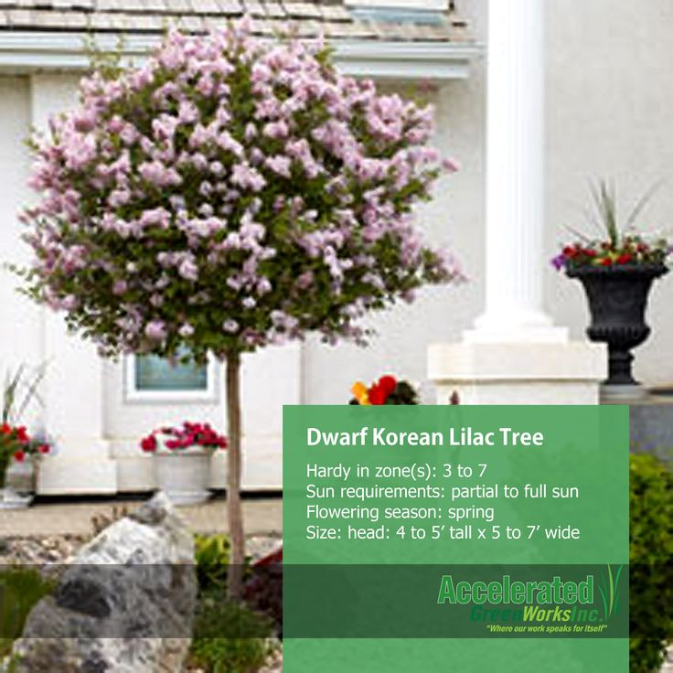 Dwarf korean lilac tree trees pinterest lilac tree for Flowering dwarf trees for landscaping