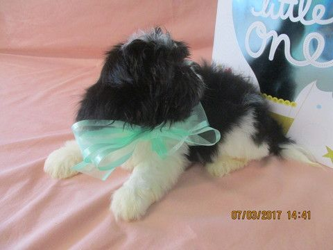 shih tzu puppies for sale in asheville nc best 25 shih tzu for sale ideas on pinterest 5219