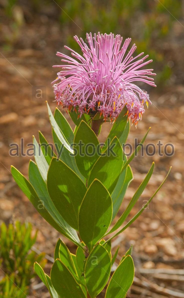 Isopogon latifolius is a shrub that is endemic to the southwest botanical province of Western Australia