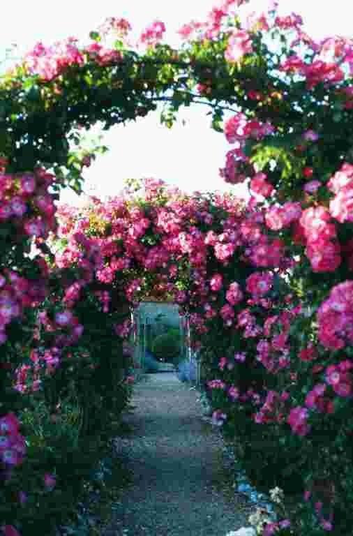 Rose archways