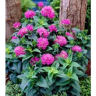 Bee Balm Petite Delight: Gardens Ideas, Balm Plants, Small Spac, Bees Balm, Balm Petite, Plants Care, Dreams Gardens, Plant Care, Care Amp