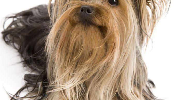 Forma económicas de cuidar el pelo de un Yorkie. Si eres dueño de un Yorkie, es fundamental que aprendas cómo cuidar adecuadamente el cabello del perro. El Yorkie (abreviatura de Yorkshire terrier) es una raza de perro pequeña, de una sola capa de pelo largo que necesita cuidarse y acicalarse de manera frecuente y regular. Sin el cuidado apropiado, el pelo del Yorkie se puede enmarañar y salirse ...