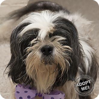 Urgent! I am at a very full, high kill shelter inTroy, OH - Shih Tzu. Meet Nora, a dog for adoption. http://www.adoptapet.com/pet/16957955-troy-ohio-shih-tzu