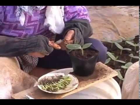 как китайцы прививают арбузы