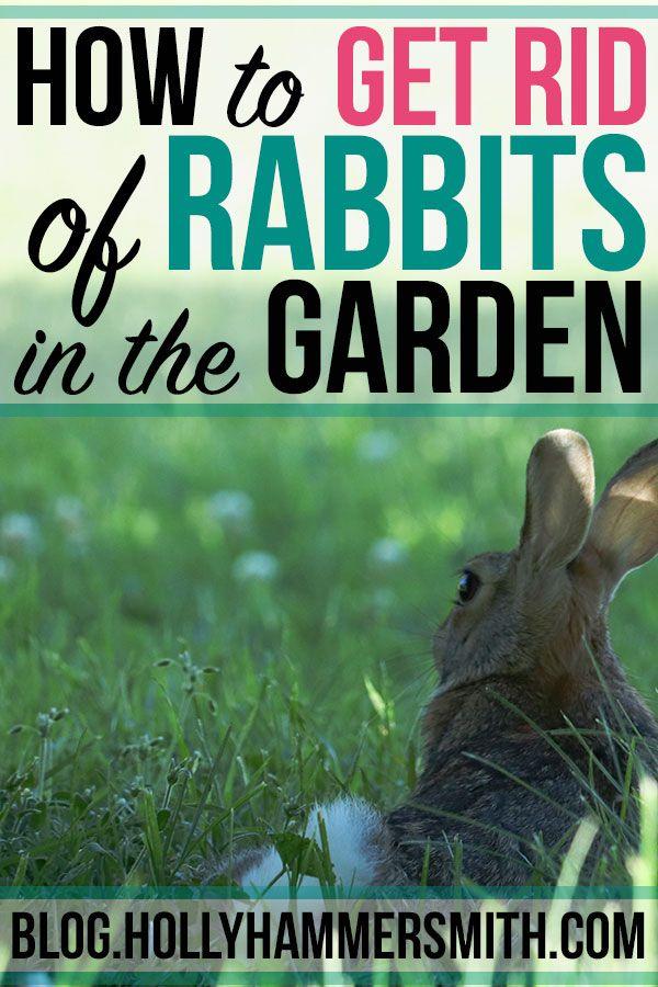 Get Rid Of Rabbits In The Garden How To Welcoming Simplicity Rabbit Repellent Rabbit Garden Rabbit Deterrent