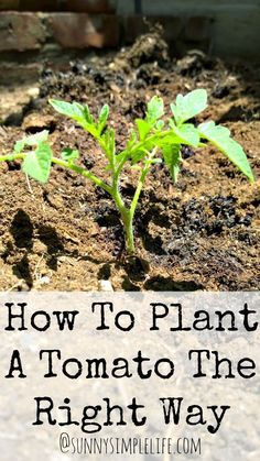 How To Plant Tomatoes The Right Way NOTE yep, this is how my Daddy planted his! - MJM