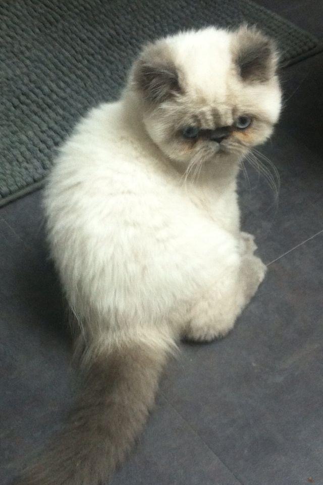Coco mi gatito himalayo va creciendo