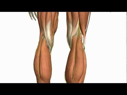 Muscles of the Leg - Part 2 - Anterior and Lateral Compartments - Anatomy Tutorial