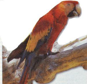 scarlet macaw information - scarlet macaw pictures - scarlet macaw breeding