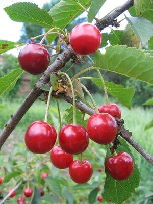 How to Freeze Fresh Picked Cherries