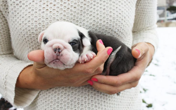 Spot our olde english bulldog for sale is 2 Weeks Old and he is STILL AVAILABLE   #bulldog #puppies #cute #oldeenglishbulldog #puppylove #puppiesforsale #dog #englishbulldog #adorable #love #newpuppies #discountpuppies #oldeenglishbullies