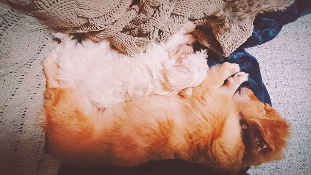 #愛犬 #ペット #家族 #中辻家の長女  #中辻家の三女  #MIX #MIX犬  #ミックス #ミックス犬  #ポメダックス #ポメックス #ポメラニアン #ミニチュアダックスフンド #マルプー #マルチーズ #トイプードル #横見たら寝てたw #可愛すぎw #親バカ失礼ww