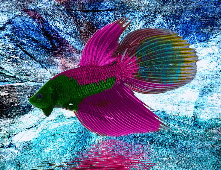 Photo Shopped Colorful Betta Fish | Betta Fish Photograph by Roberto Cortes - Betta Fish Fine Art Prints ...