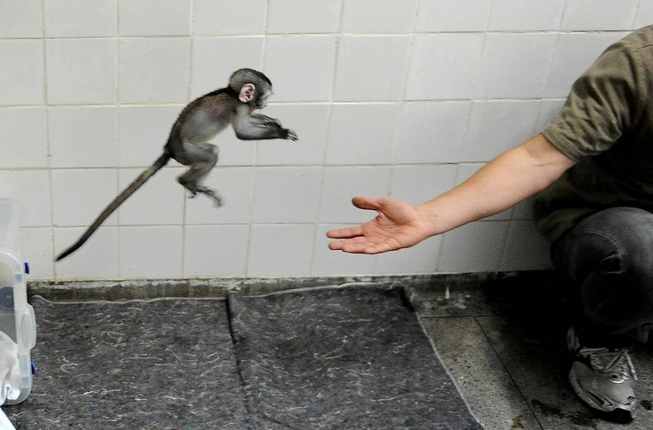 Rio's zoo veterinarian Spadetti Alex plays with 'Lequinho', a two-month-old 'green monkey' (Cercopithecus pygerythrus), a species originary from South Africa, in Rio de Janeiro, Brazil, on May 22.  In 2012.  Lequinho, Whose Giving birth mother died upon, is Being taken care of by a team of veterinarians and biologists AFP PHOTO / VANDERLEI ALMEIDA