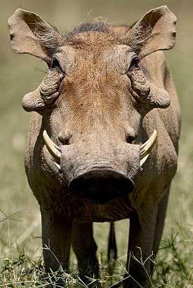 warthog, SA