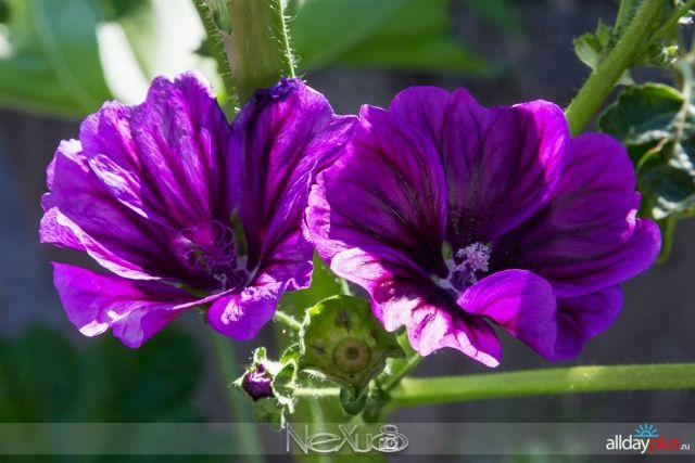 Я люблю все цветы, выпуск 189 | Мальва - «воплощение мечты, радости, символ стремления к возвышенности и силе» и клематис - «цветок страсти».
