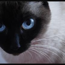 Siamese blue cat eyes.