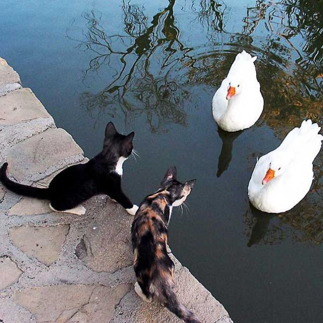Sweet Kittens making friends with pretty swans #animalsdotalk