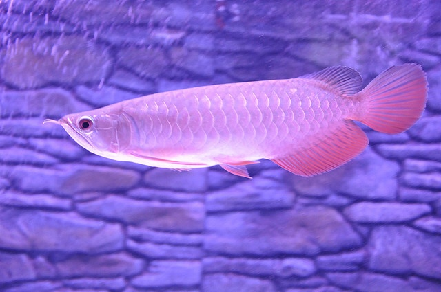 131 best images about arowana on pinterest cichlids for Koi for sale houston