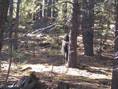 Clear Video of a TimberGiantBigFoot's Bigfoot, Stabilized with Sound Restored - YouTube