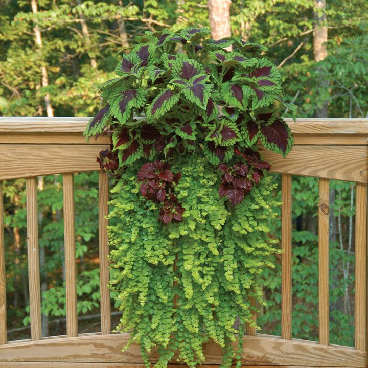 Sweet potato vine with coleus wall planter mounted on deck railing.