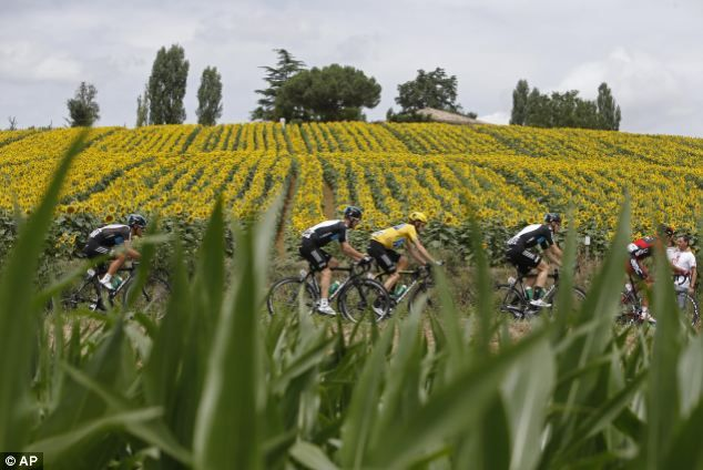 The pack with Bradley Wiggins wearing the overall leader's yellow jersey, pass a field with sunflowers