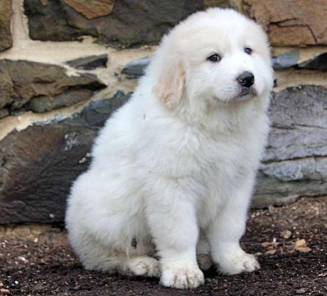 Great Pyrenees Puppy! In my top 5 favourite breeds of dogs.