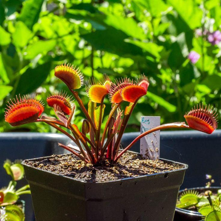 Dionaea Muscipula (Venus Atrapamoscas). Esta planta carnívora quedará preciosa en tu casa y te dejará sin moscas. Puedes comprar las semillas en http://www.compradesemillas.com