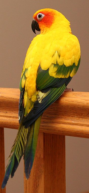 Sun Conure. I made a friendship with one of these guys at the pet store:) but he's way too expensive:(