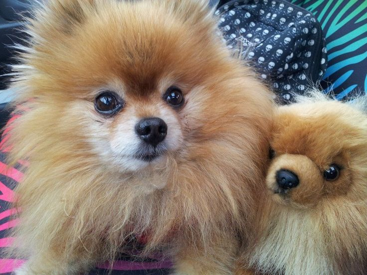 A Pomeranian Rescue Story: A True Survivor, Gimly