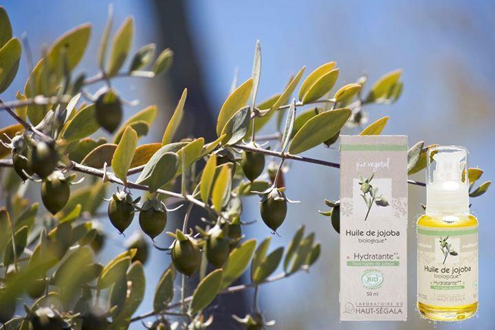 https://www.hempishop.nl/Laboratoire-du-Haut-Segala-Jojoba-Olie-50ml Jojoba olie wordt gewonnen uit de zaden van de wilde hazelaar, die groeit in de woestijnen van Mexico en Arizona. Indianen gebruiken deze olie om hun huid te hydrateren en beschermen. Het verbetert het uiterlijk van vettig of zeer droge huid dankzij de samenstelling die vergelijkbaar is met menselijke talg. Jojobaolie is ook geschikt voor het haar; het voegt glans en soepelheid aan uw haar toe. #jojobaolie #biologisch…