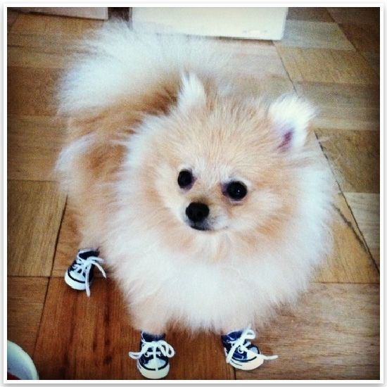 teacup pomeranian life expectancy 126 best images about pomeranian puppies on pinterest 5251