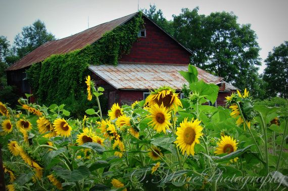 17 Best Images About Barns Amp Sunflowers On Pinterest
