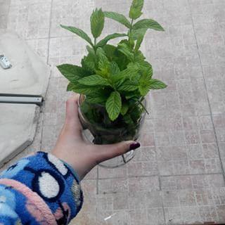 Hierbabuena. | 16 Plantas para sembrar y cocinar en casa